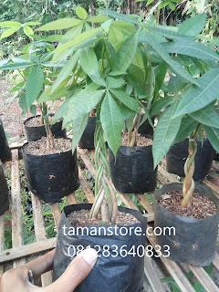 pohon pachira kepang