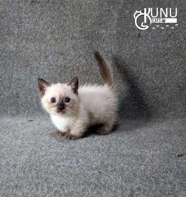 Efek Meo Persian pada Kucing