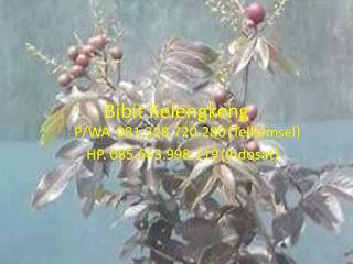 Bibit Kelengkeng | Bibit Kelengkeng Merah | Bibit Kelengkeng Merah Murah | Harga Bibit Kelengkeng Merah | Jual Bibit Kelengkeng Merah | Bibit Kelengkeng Aroma Durian | Bibit Lengkeng Aroma Durian | Jual Bibit Kelengkeng Aroma Durian | Bibit Kelengkeng Kristal | Bibit Kelengkeng New Kristal | Bibit Kelengkeng Itoh | Bibit Kelengkeng Itoh Super | Bibit Kelengkeng Diamond River.