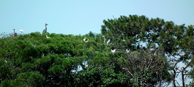 Heronry on the Ile d'Oleron, Atlantic coast, France. Photo by Loire Valley Time Travel.