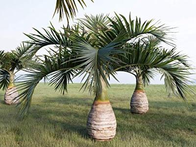 Jenis pohon Palem botol Hyophorbe lagenicaulis