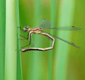 Egg laying female Emerald Damselfly