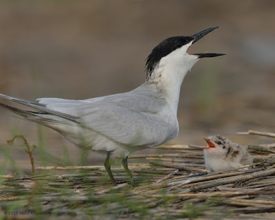 Gull-billed tern adult apparently teaching its chick to respond © Michael Kilpatrick