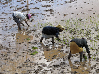 Planting rice in Africa