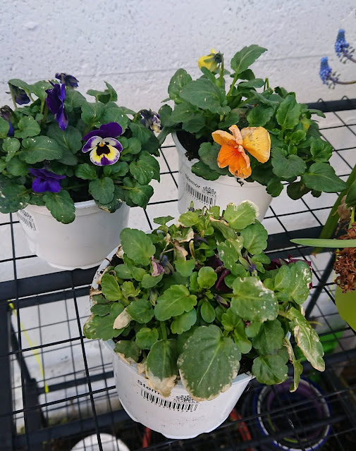 Stemor til utplanting