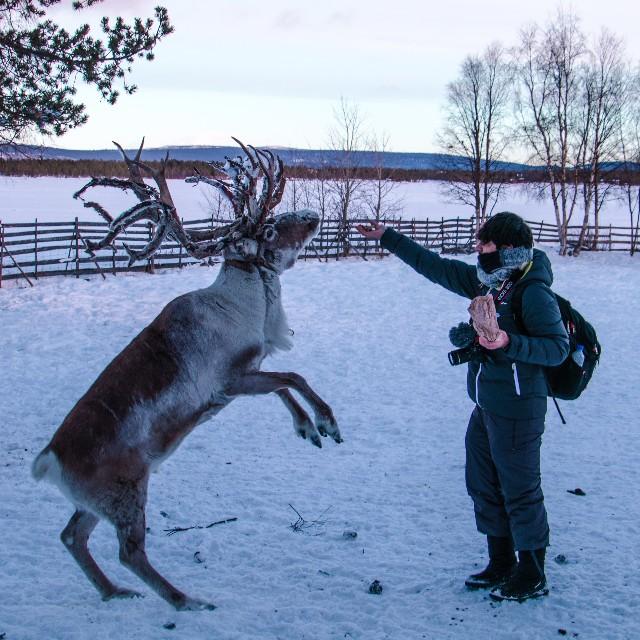 viaggio-di-gruppo-in-lapponia-con-poracci-in-viaggio-renne