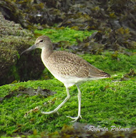 Willet with its feet visible – Souris area, PEI – July 27, 2013 – Roberta Palmer