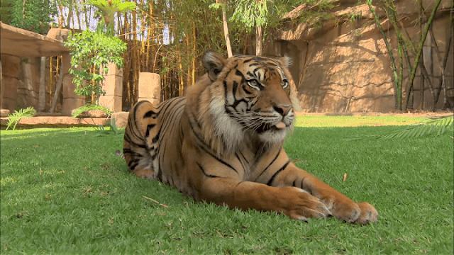 The Scientific name of Tiger【Panthera Tigris】| Indian National Animal