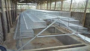 Cara Membangun Kandang Ayam Petelur Yang Ideal
