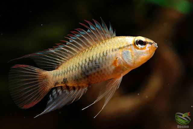 F1 Apistogramma cf. viejita from Rio Guarrojo