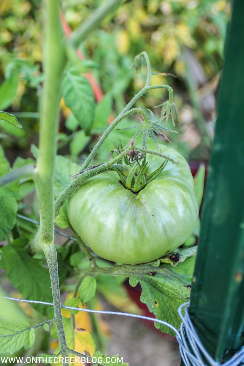 Tomatoes in the garden | On The Creek Blog