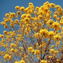 arboles de Argentina Lapacho amarillo misionero Tabebuia pulcherrima