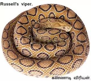 கண்ணாடி விரியன் பாம்பு - Russell's Viper.