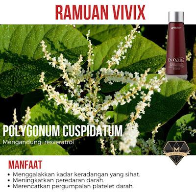 polyganum cuspidatum ramuan vivix