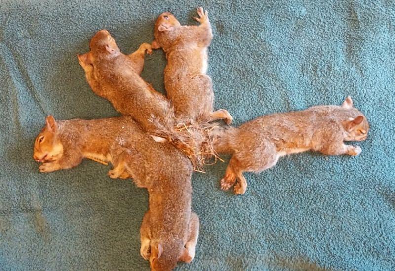 Cinco crias de esquilo presas umas às outras com plástico