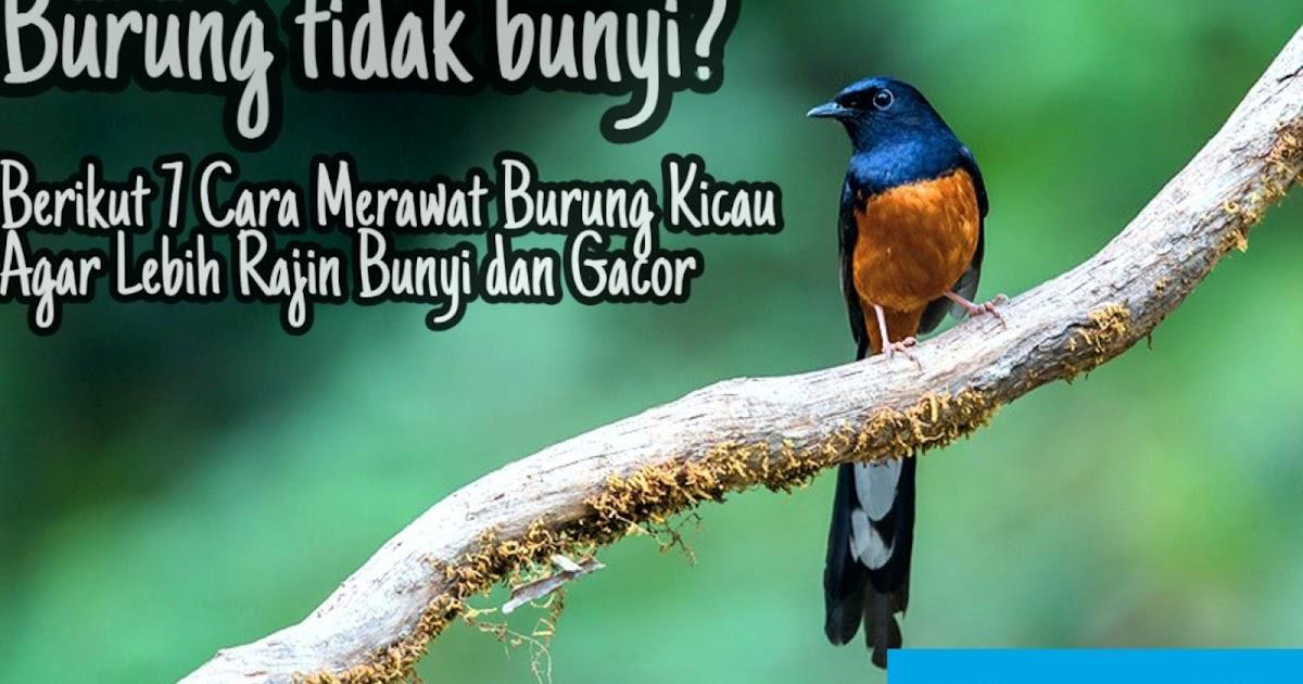 Burung Tidak Bunyi Berikut 7 Cara Merawat Burung Kicau Agar Lebih Rajin Bunyi Dan Gacor Wadah Moco Wadah Moco We Read We Know