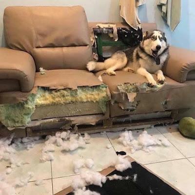 Witziger Hund zerstört Couch - kaputtes Sofa