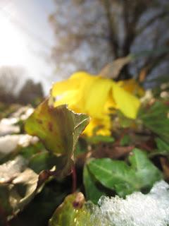ivy, snow, daffodil, moody