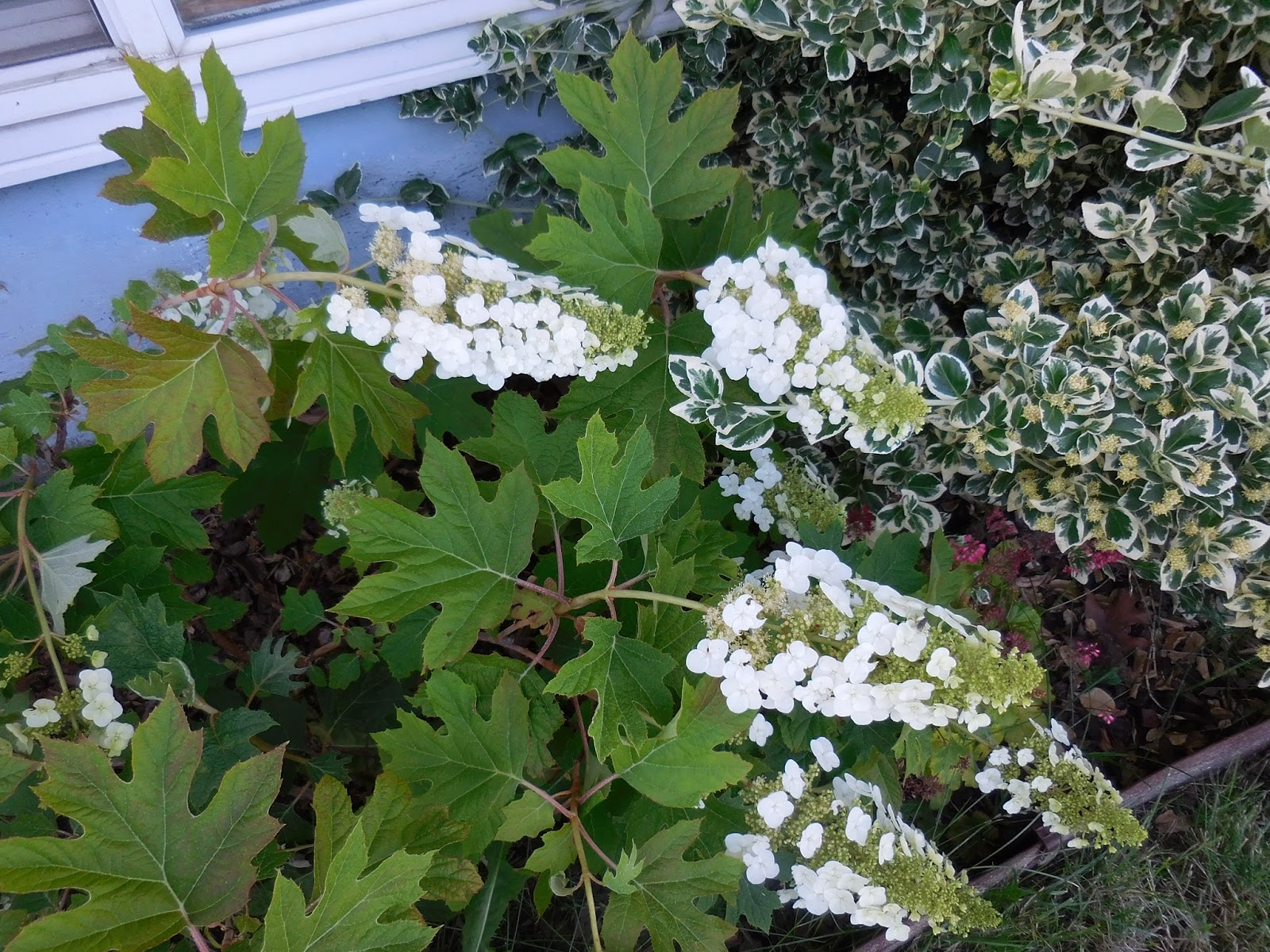 Of Books And Blooms Plant File Hydrangea Quercifolia Oakleaf