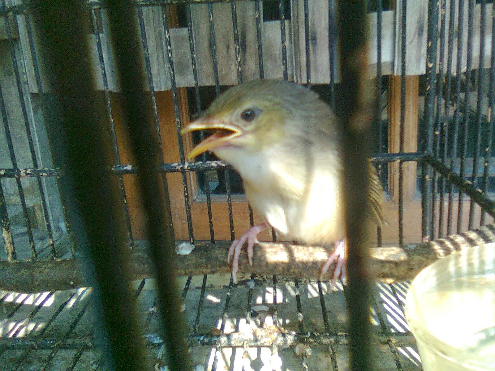 Selain gayanya yang lincah suara burung ciblek ini pun sangat mantap. Bedakan CIblek Gunung Anakan Jantan dan Betina - Cara Gacor