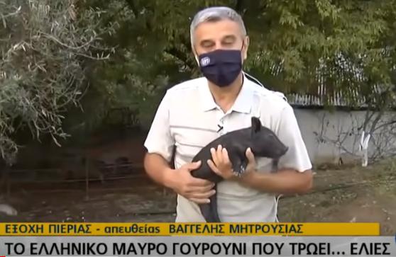 Το ελληνικό μαύρο γουρούνι που τρώει ελιές video