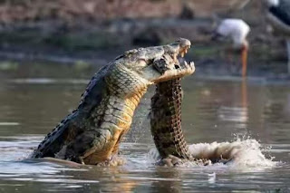 Crocodile wildlife photos