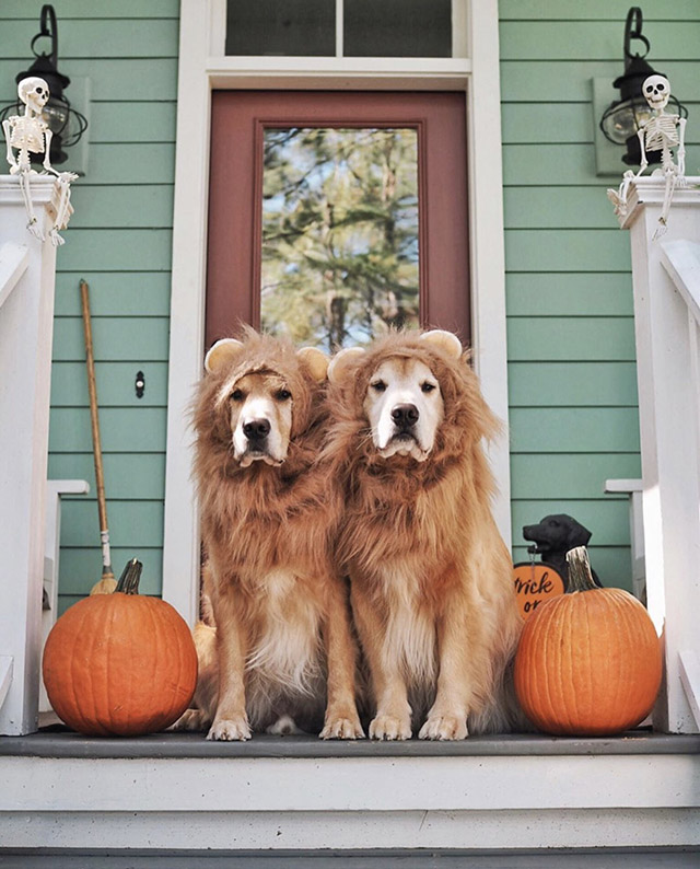 Golden Retrievers Halloween