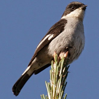 Papamoscas fiscal, Melaenornis silens
