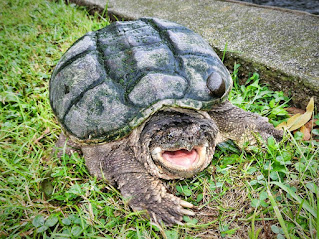 Common Snapping Turtle ( CST )