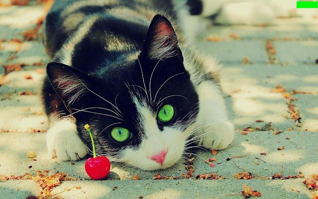 Fakta-Fakta kucing yang menarik dan foto-foto kucing yang cantik