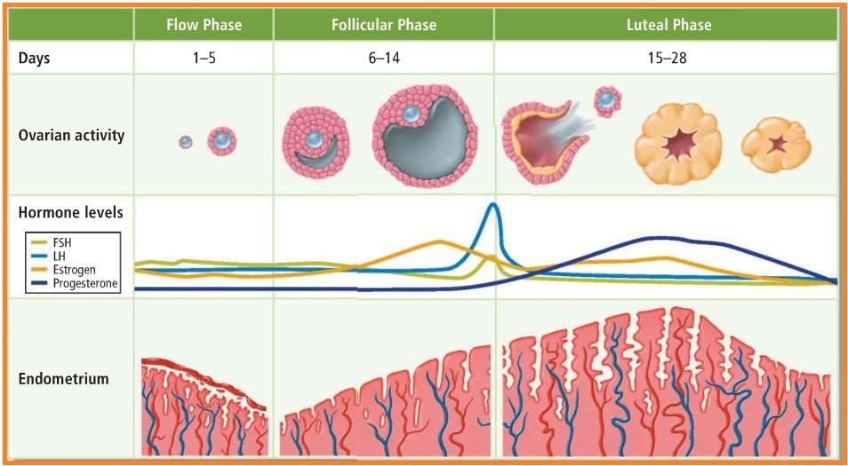 Image Result For Siklus Menstruasi