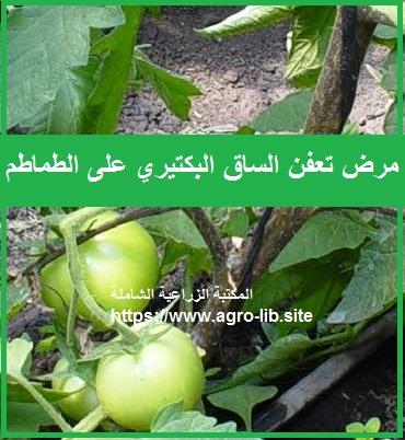 مرض تعفن الساق البكتيري على الطماطم Bacterial Stem Rot