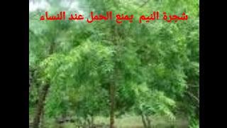 شجرة النيم مانع قوي للحمل عند النساء