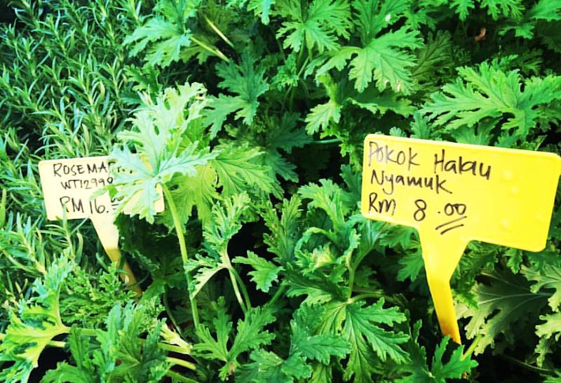 Pokok Halau Nyamuk : Elok Tanam Di Kawasan Rumah