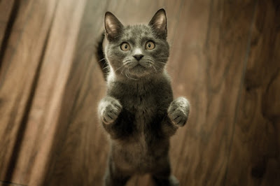 A grey kitten is standing on its back legs with a timber floor visible in the background