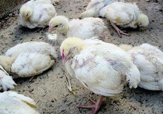 Ciri-ciri ayam potong terserang virus penyakit