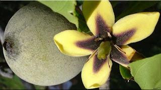 gambar buah huito