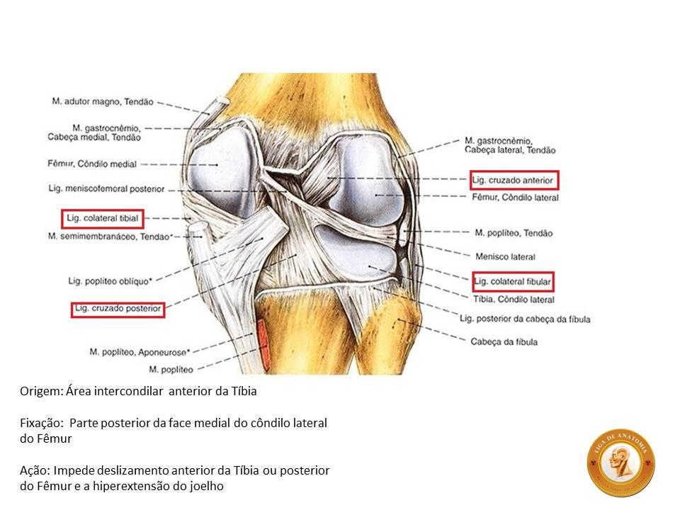 Liga de Anatomia ULBRA: RECONSTRUÇÃO DO LIGAMENTO CRUZADO ANTERIOR ...
