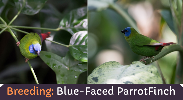 how to breed Blue Faced Finch