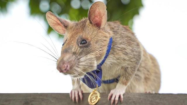 Magawa, la rata héroe, se retira de su trabajo de detección de minas
