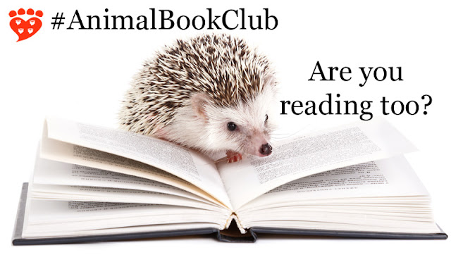 An African hedgehog is reading a book, apparently