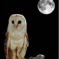 burung hantu tito alba