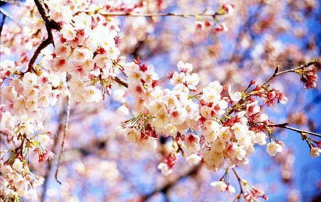 Gambar Wallpaper Bunga Sakura Jepang Cantik