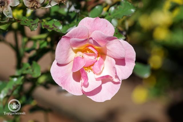 Rose Jazz, Das große Ulmer Rosenbuch, Gartengestaltung mit Rosen - Gartenblog Topfgartenwelt
