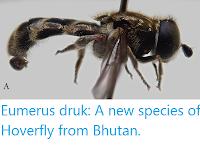 https://sciencythoughts.blogspot.com/2020/03/eumerus-druk-new-species-of-hoverfly.html