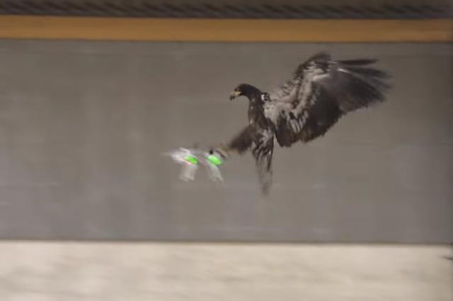 Increíble… la Policía Holandesa está entrenando águilas para que derriben drones