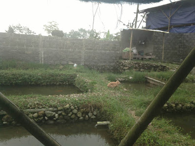 Serangan Otter (Berang-berang), BUKAN Linsang di Kolam