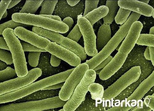 Macam Macam Bakteri yang Menguntungkan Manusia