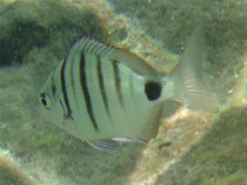 Spitzbrasse - Diplodus puntazzo © Canarian Sea 05