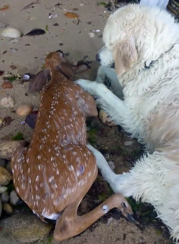 image of a large white dog lying beside a deer fawn on a rocky beach